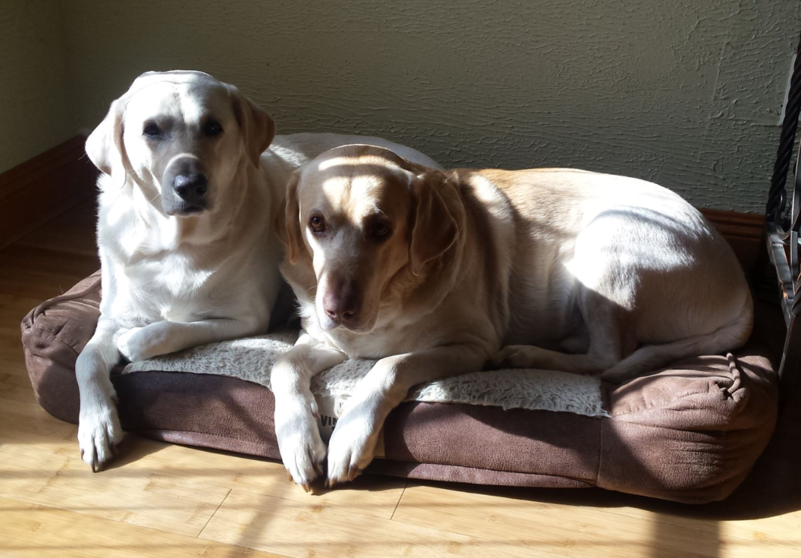 two yellow labs laying on the same padded dog bed.