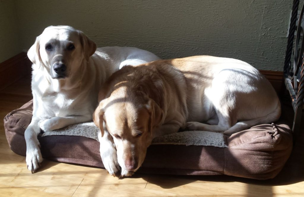 two labs on a bed with one alert and the other's head down resting.